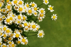 Small daisy flowers. On green background royalty free stock photography