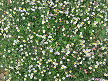 Small daisy flowers in green grass. Background, texture. Outdoor recreation, landscape design Stock Photos