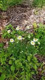 Small Daisy. Flowers, pretty, outdoors stock image