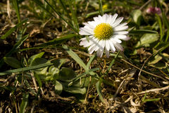 Small daisy Royalty Free Stock Image