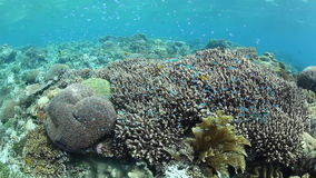 Small Damselfish and Coral Reef in Indonesia stock video