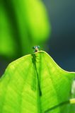 small damselfly Royalty Free Stock Image
