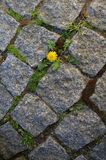 Small dandelion growing between stones royalty free stock photography