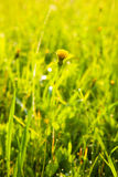 Small dandelion in a meadow Royalty Free Stock Photography