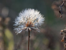 Small dandelions in the sun Royalty Free Stock Photos