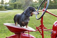 Small dapple dachshund riding on a red tractor Royalty Free Stock Photos