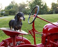 Small Dapple dachshund standing on a tractor seat Stock Photo