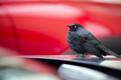 Small dark bird with blue feathers on car hood stock image