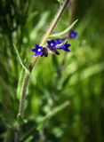 Small dark blue flowers Royalty Free Stock Images