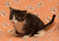 Small dark gray with white kitten. Small dark gray with white cute kitten royalty free stock image