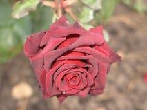 Small dark red rose Stock Photos
