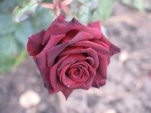 Small dark red rose. Flower on the bush in the autumnal garden flowerbed Royalty Free Stock Photography