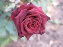 Small dark red rose. Flower on the bush in the autumnal garden flowerbed Stock Image