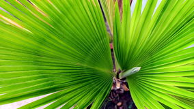 Small date palm plant. Green Small Date Palm plant Long Leaf in The Garden Stock Photography