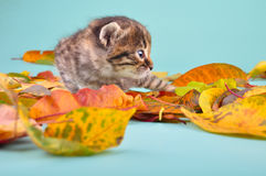 Small 20 days old  kitten in autumn leaves Royalty Free Stock Photos
