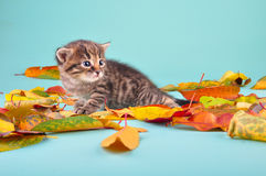 Small 20 days old  kitten in autumn leaves Stock Image