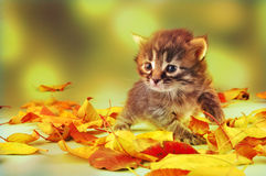 Small 20 days old  kitten in autumn leaves Royalty Free Stock Images