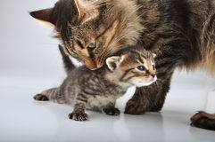 Small 20 days old  kitten with mother cat Royalty Free Stock Image