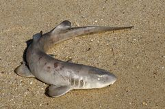 A small dead shark on the shore Stock Images