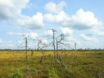 Dead trees in Aukstumalos swamp, Lithuania Royalty Free Stock Photos