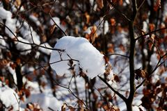 A small deciduous tree with autumn leaves and pile snow on branch. With sunshine stock photos
