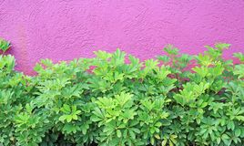 Small decoration tree and rough deep pink wall.  royalty free stock images