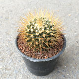 Small decorative cactus in round pot, top view Royalty Free Stock Photos