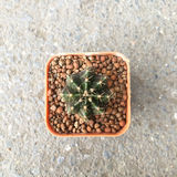 Small decorative cactus in small pot, top view Royalty Free Stock Image