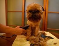 Small decorative dog during the grooming. stock images