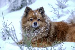Portrait of a German Spitz in the snow stock photography