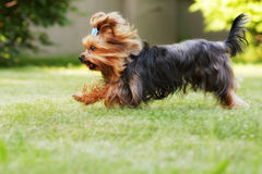 Small decorative family dog Yorkshire Terrier running on the gra Royalty Free Stock Image
