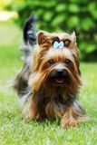 Small decorative family dog Yorkshire Terrier running on the gra Stock Photo