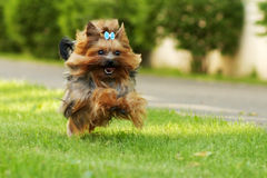 Small decorative family dog Yorkshire Terrier running on the gra Stock Photos