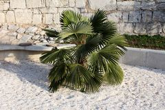 Small decorative palm tree with dense pointy dark leaves planted in local park surrounded with white gravel and traditional stone. Wall in background royalty free stock photography