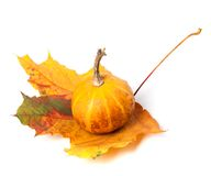 Small decorative pumpkin on autumn maple-leaf Stock Photo