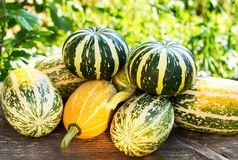 Small decorative pumpkins in the garden on a wooden bench for de Royalty Free Stock Photography