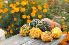 Small decorative pumpkins Royalty Free Stock Photo