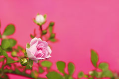 Decorative rose. A small decorative rose blooms in summer on the pink background stock image