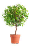 Small decorative tree Royalty Free Stock Image