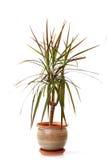 Small decorative tree Stock Image