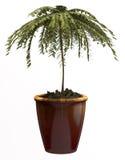 Small decorative tree Royalty Free Stock Photography