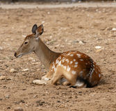 Small deer. It is photographed in a zoo Stock Image