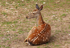 Small deer Royalty Free Stock Images