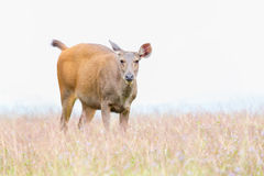 Small deer grazing green grass Royalty Free Stock Images