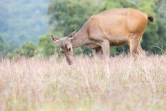 Small deer grazing green grass Stock Image