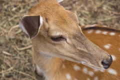 Small deer of Japan with slightly forked antlers Stock Photos