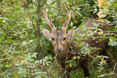 A small deer. Small deer looking into camera lense Stock Photo