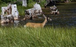 A Small Deer at Marlette Lake in Lake Tahoe stock images