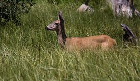 A Small Deer at Marlette Lake in Lake Tahoe royalty free stock images