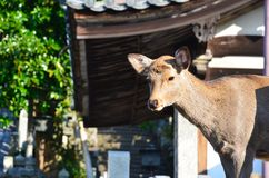Small deer of nara Stock Photos